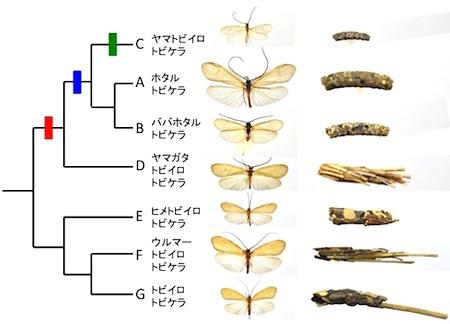 ホタルトビケラ系統樹