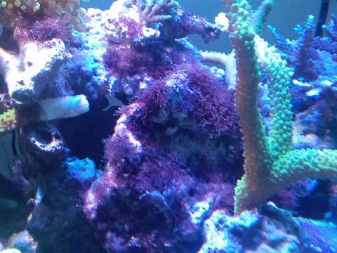 藻爆殖20120916_02