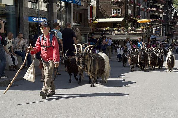 スイス(黒山羊さん街中を行く)image