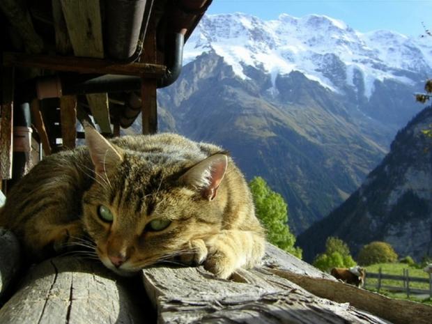 スイス(山合いのネコさん)image