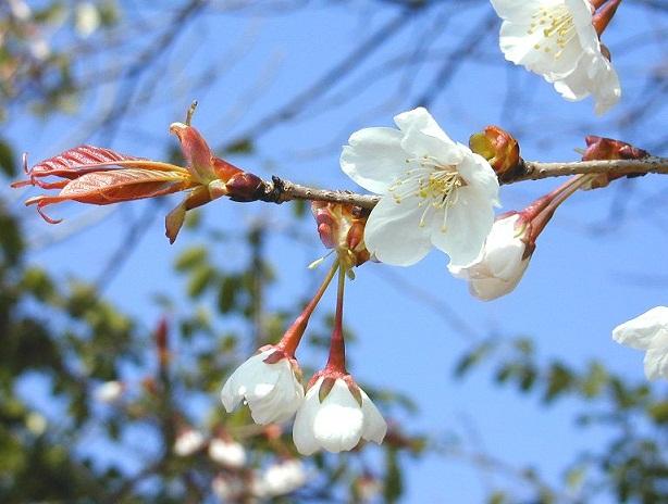 日本の(山桜)image