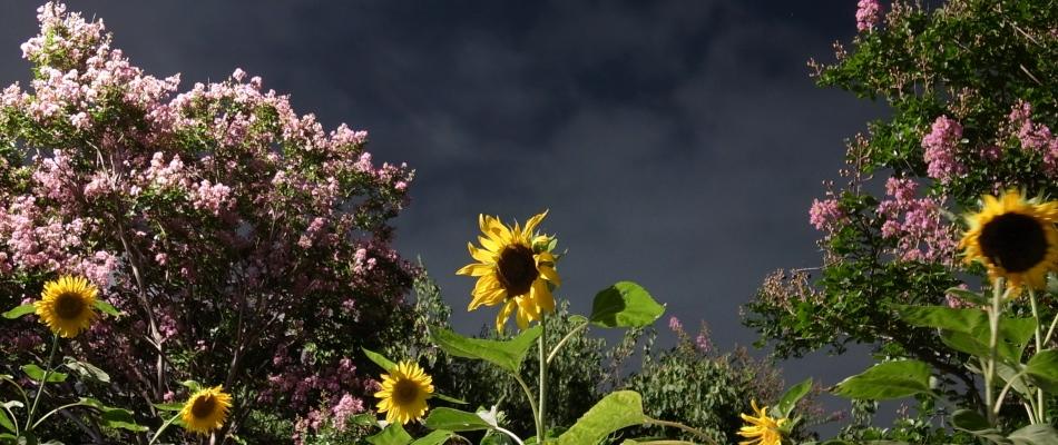 sunflower(950_400)