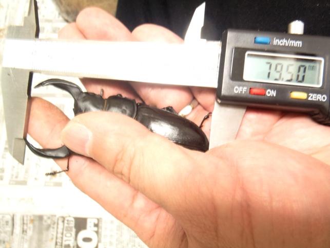 早期羽化♂79.5ミリ