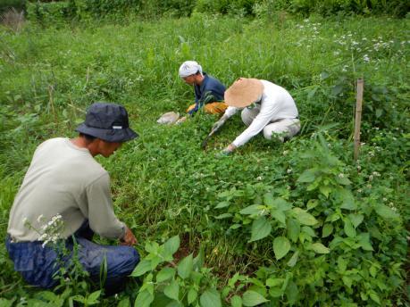 ジャガイモ畑の草刈り