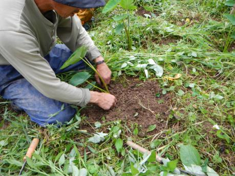 里芋の土寄せ1