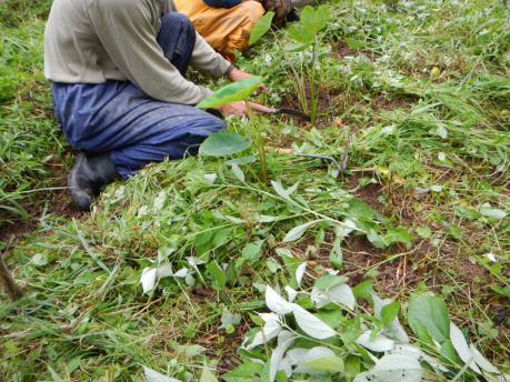 里芋の土寄せ2