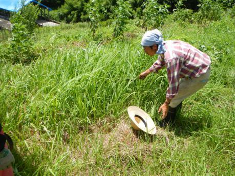 さつまいもの草管理1 草刈り前