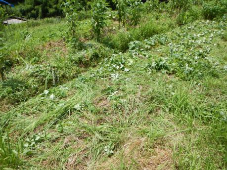 さつまいもの草管理2 草刈り前