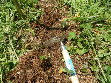 人参の種蒔き3 表土を削って宿根草をとる