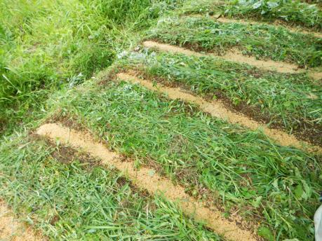 人参の種蒔き9 種蒔き終了