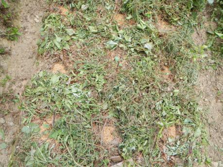 キャベツの種蒔き後