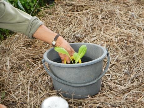 白菜苗の植えかた4