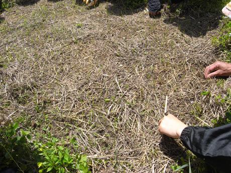 お米の苗床の草取り
