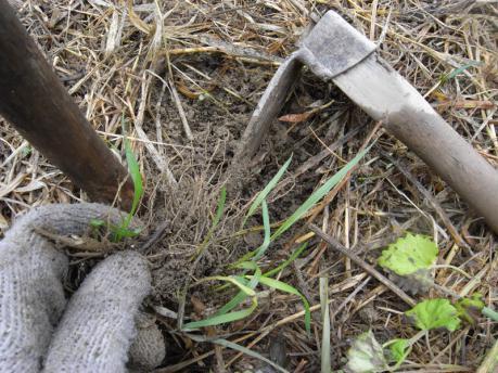 ナス苗植え付け2:宿根草の根は取る