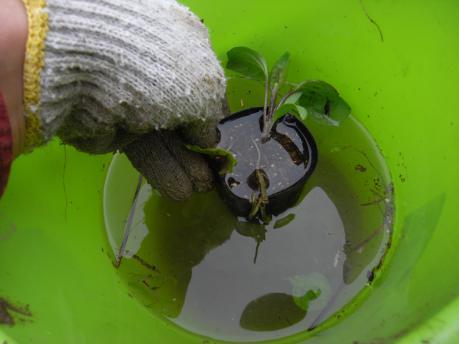 ナス苗植え付け3:苗全体を水につける