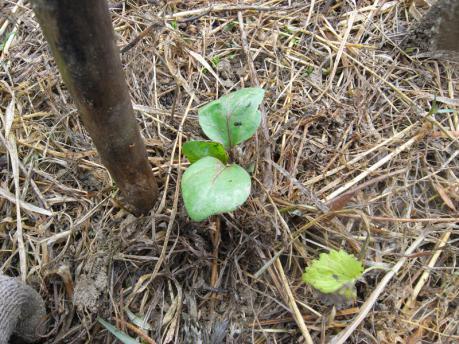 ナス苗植え付け5:植え付け