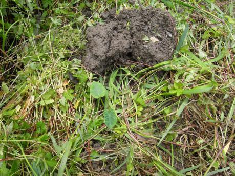 里芋植え付け5:草をかける