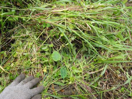 里芋植え付け6:土にも草をかける