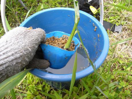 里芋植え付け3:苗全体を水につける