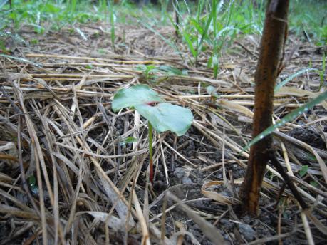 西の畑 綿の芽2