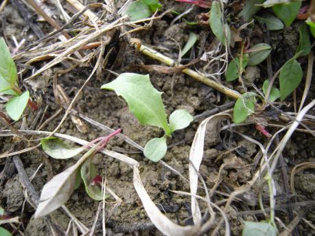 西の畑 エンダイブの芽
