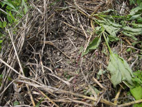 インゲン1:草をどける