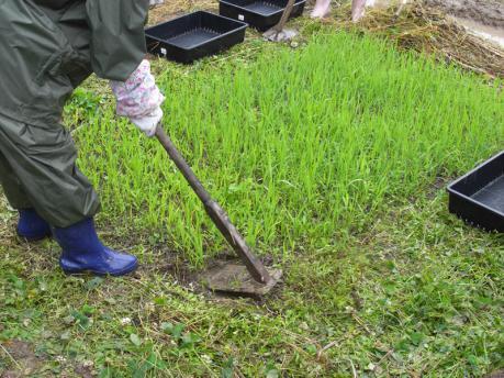 田植え4:苗を取る(土を3~4cmつけるように)