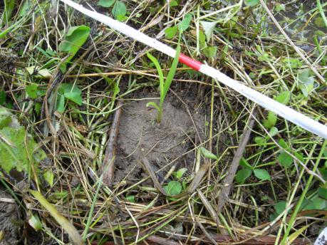 植付3:土を寄せる(草はかけない)