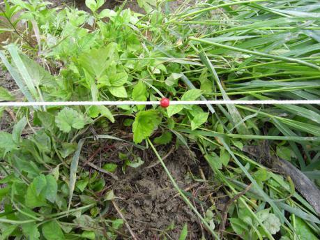 田植え3:植付け箇所の草をどける