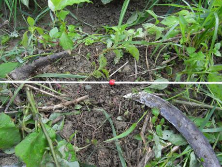 田植え2:植付け箇所の草をどける