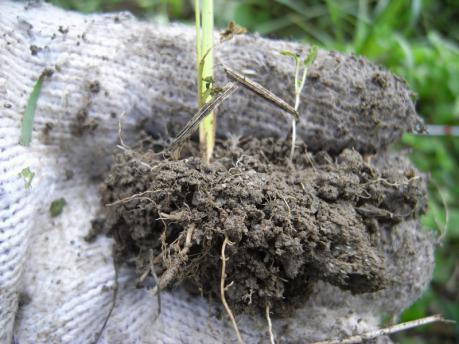 田植え4:土を3~4cmつけておく