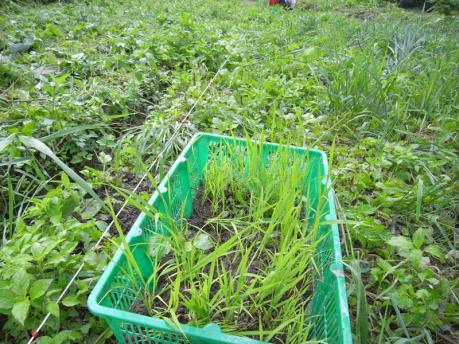 人数が少ないので、苗箱を引きずって草をたおしていく