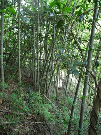 a&c裏山の竹林