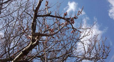 吉香公園 梅の木