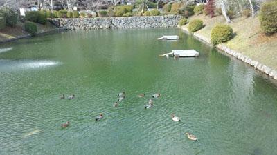 吉香公園 お堀池の鴨