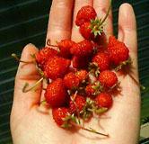 大小苺収穫