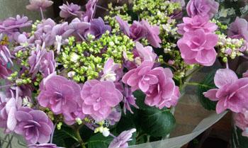 変わり紫陽花買いました