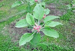 0517 伊藤所長のリンゴの花