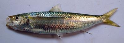 カタボシイワシ若魚