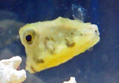 コンゴウフグ稚魚