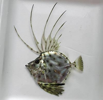 カガミダイ幼魚