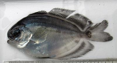 ハナビラウオ幼魚