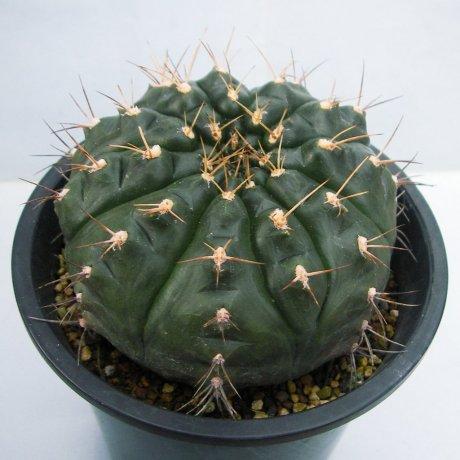 130110--Sany0003--damsii ssp evae--Mesa seed 461.42