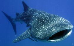 whale-shark02.jpg
