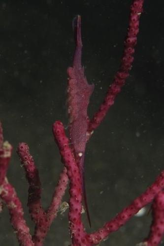 トガリモエビ メス赤 抱卵中