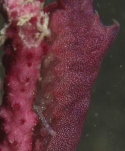 トガリモエビ 赤 メス