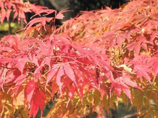 個人的に紅葉の形では一番好きな種類。