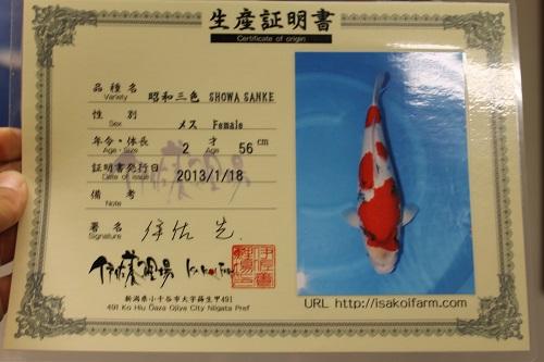 スーパー立て鯉 (2)