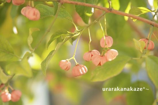 マユミの木の実