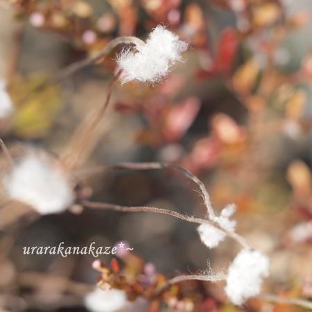 シュウメイギクの綿毛